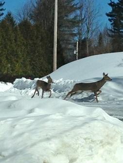deer in the valley